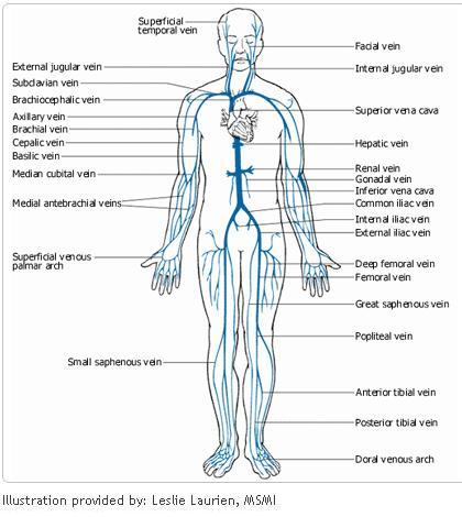Cardiovascular Diagram Of Veins - Online Schematic Diagram •