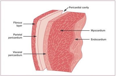anatomy of heart | cardiovascular & exocrine system, Cephalic Vein